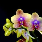 Ingrijirea orhideelor